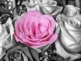 Anniversary Pink Rose