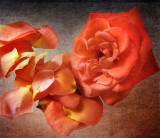 About old roses...