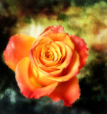 The bold rose...
