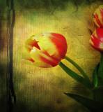 Individualist tulip...
