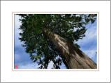 A Big Tree