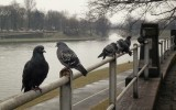 cracovian pigeons (singing with Mark Knopfler)