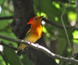 Band-tailed Manakin