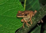 Rocket Treefrog