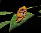 Variable Clown Treefrog
