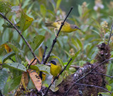Chiriqui Yellowthroat
