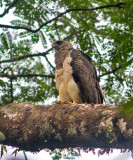 Crested-Eagle-female-Rancho-Frio-Station-Darien-NP-Panama-19-March-2013-Edited-IMG_8817.jpg