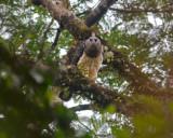 Crested-Eagle-The-Darien-IMG_8835.jpg