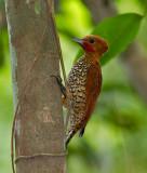 Cinnamon-Woodpecker-Bayano-area-Panama-17-March-2013-Edited-IMG_8132.jpg