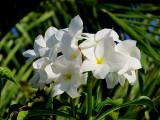 Fleurs blanches sur un arbre