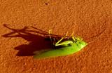 cadavre de sauterelle