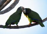 couple de Cotorra (Amazona ventralis)