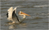 American White Pelican - water touchdown - 1