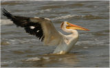 American White Pelican - water touchdown - 3