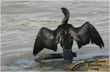 Double Crested Cormorant - drying wings