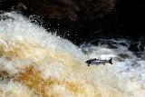20th August 2006  Atlantic Salmon