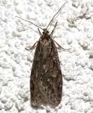 0916, Semioscopis auroella