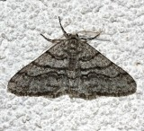 6658, Phigalia titea, The Half-wing