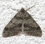 6660, Phigalia strigataria, Small Phigalia