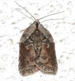3536, Acleris robertsoniana.