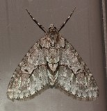 7637, Cladara limitaria, Mottled Gray Carpet Moth