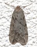 6662, Paleacrita vermata, Spring Cankerworm Moth