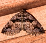 7329, Variable Carpet Moth