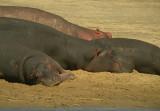 nijlpaard2.jpg