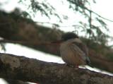 stripedkingfisher.jpg