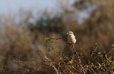 Steppeklapekster / Steppe Grey Shrike / Lanius pallidirostris