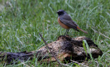 Oosterse Zwarte Roodstaart / Eastern Black Redstart / Phoenicurus ochruros phoenicuroides