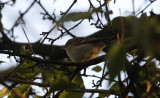 Humes Bladkoning / Hume's Warbler / Phylloscopus humei