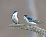 Tree Swallow holding his ground