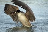 Canada Goose Display