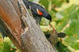 Red-winged Blackbird with juvenile