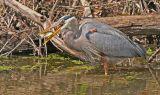 Great Blue Heron catching