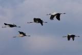 Najaarstrek van kraanvogels langs Diepholz (D)