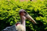 Marabou Stork 1