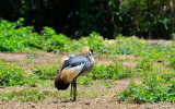 Crested Crane.jpg