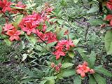 prunifolium