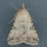 8614 Bulia deducta -female