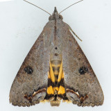 8642  Hypocala Moth - Hypocala andremona