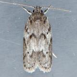 1019 Dotted Anteotricha - Anteotricha humilis