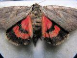 8834 The Sweetheart Underwing - Catocala amatrix