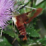 7853 Hummingbird Clearwing - Hemaris thysbe