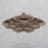 8692  Maple Zale - Zale galbanata