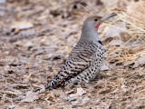 Northern Red-shafted Flicker