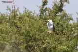 Nibbio bianco (Elanus caeruleus)