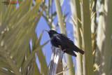 Storno nero (Sturnus unicolor)