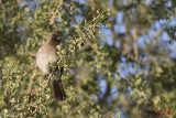 Bulbul golanera (Pycnonotus barbatus)